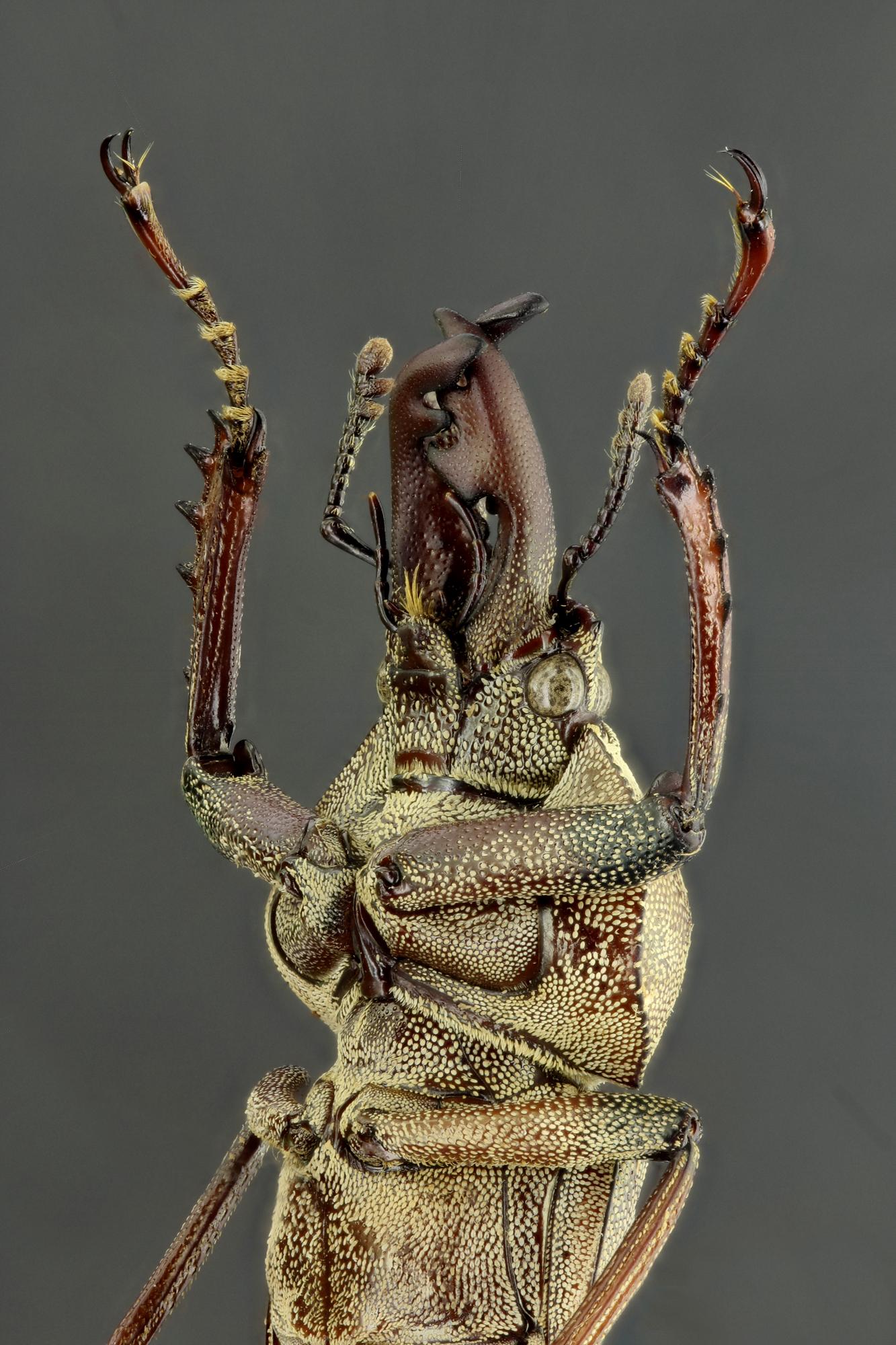Cacostomus squamosus 60349zs81.jpg