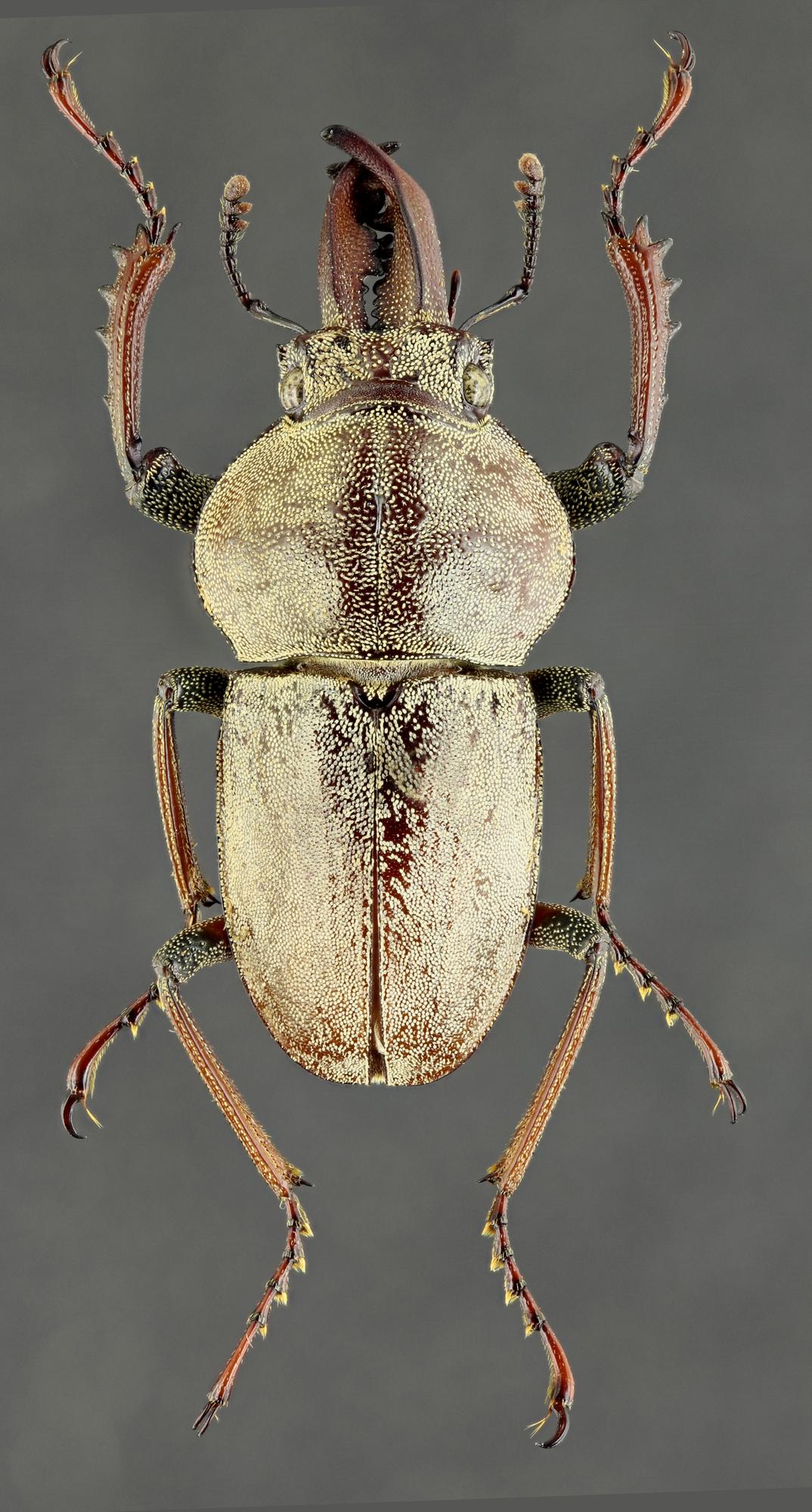 Cacostomus squamosus 60432zs45.jpg