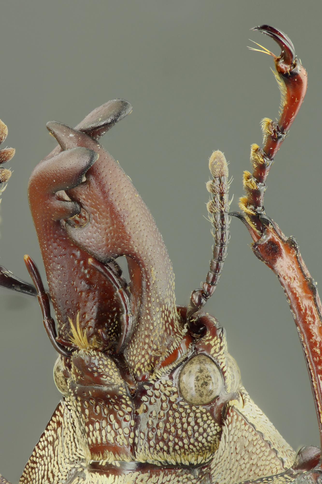 Cacostomus squamosus 60464zs27.jpg