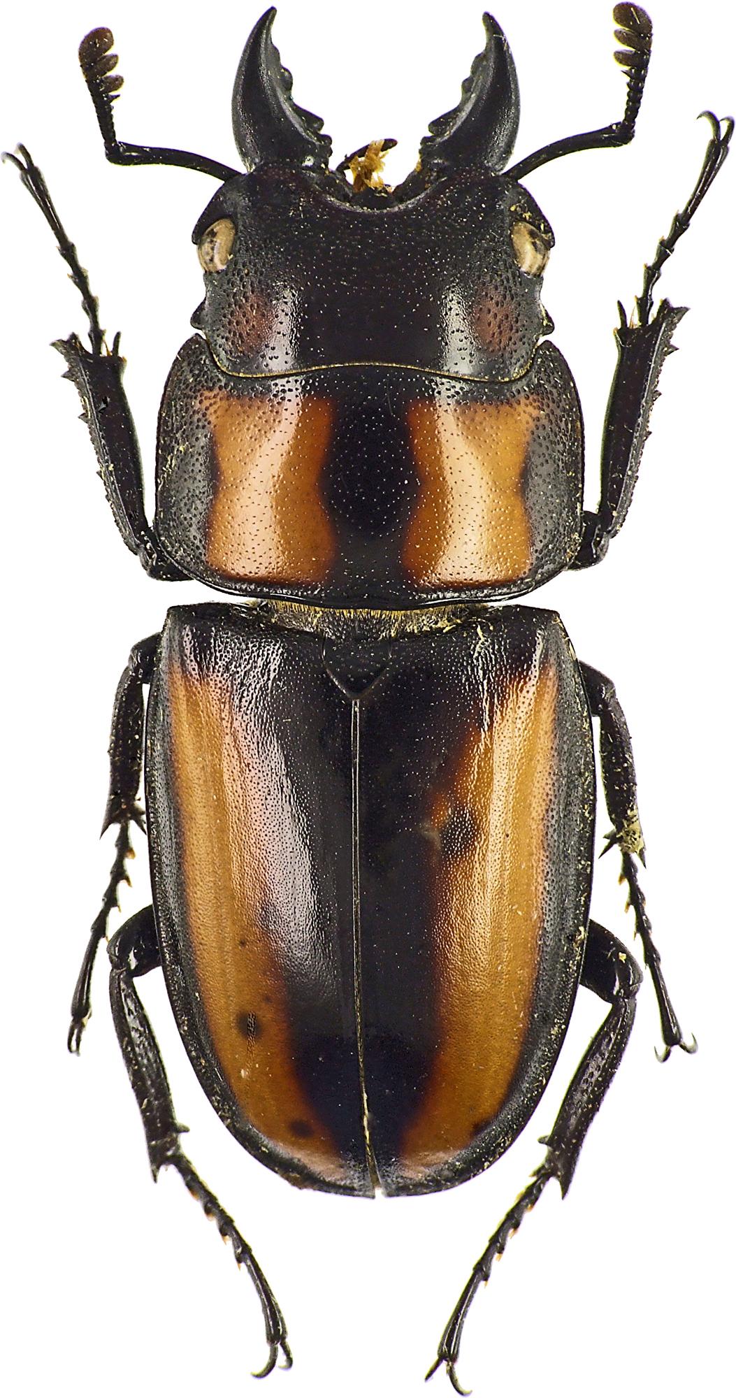 Prosopocoilus biplagiatus 43446cz49.jpg
