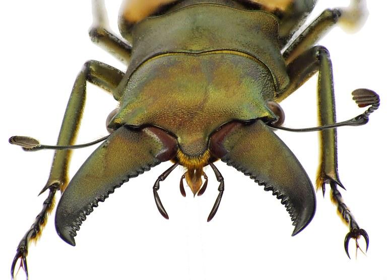 Cyclommatus magnificus 43621cz30.jpg