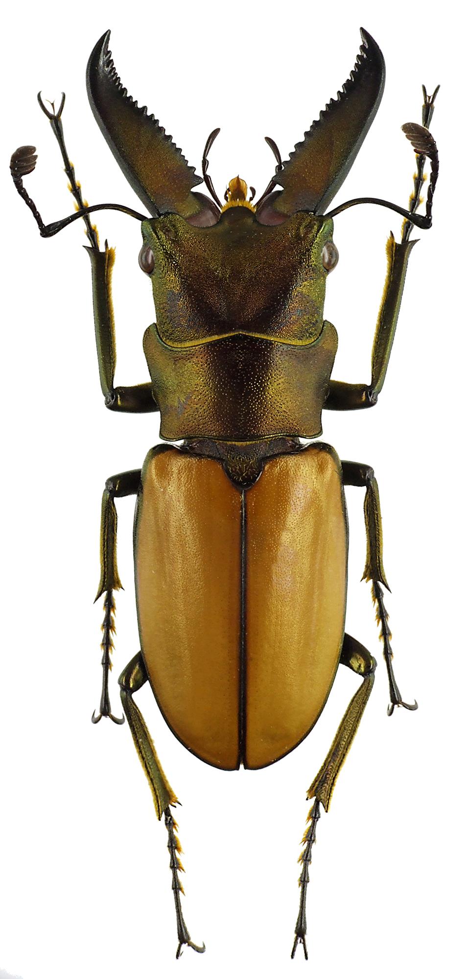 Cyclommatus magnificus 43631cz35.jpg