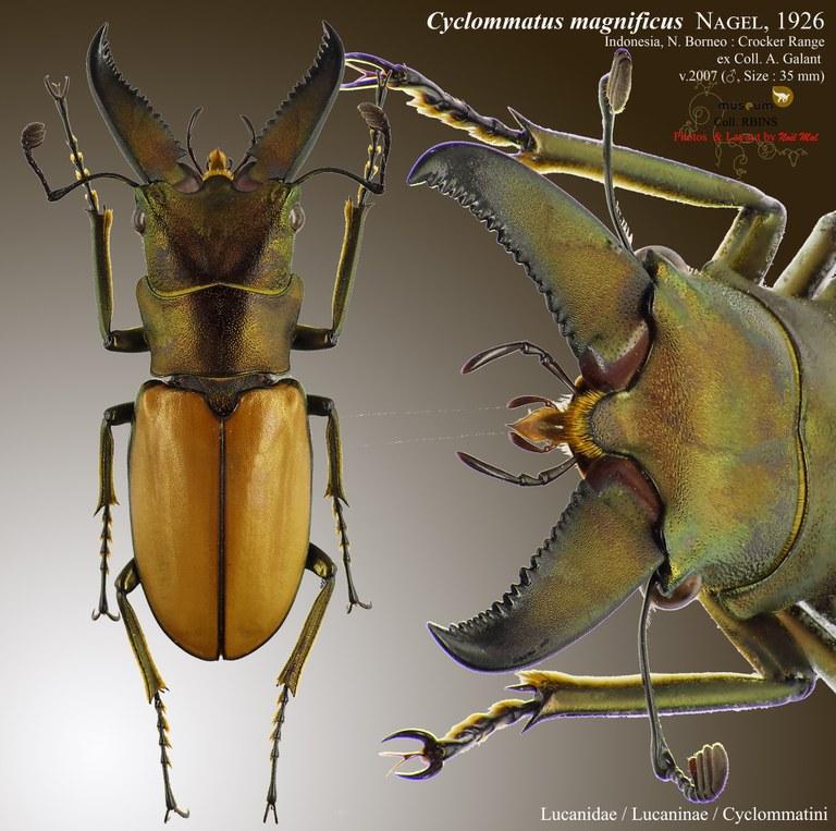 Cyclommatus magnificus.jpg