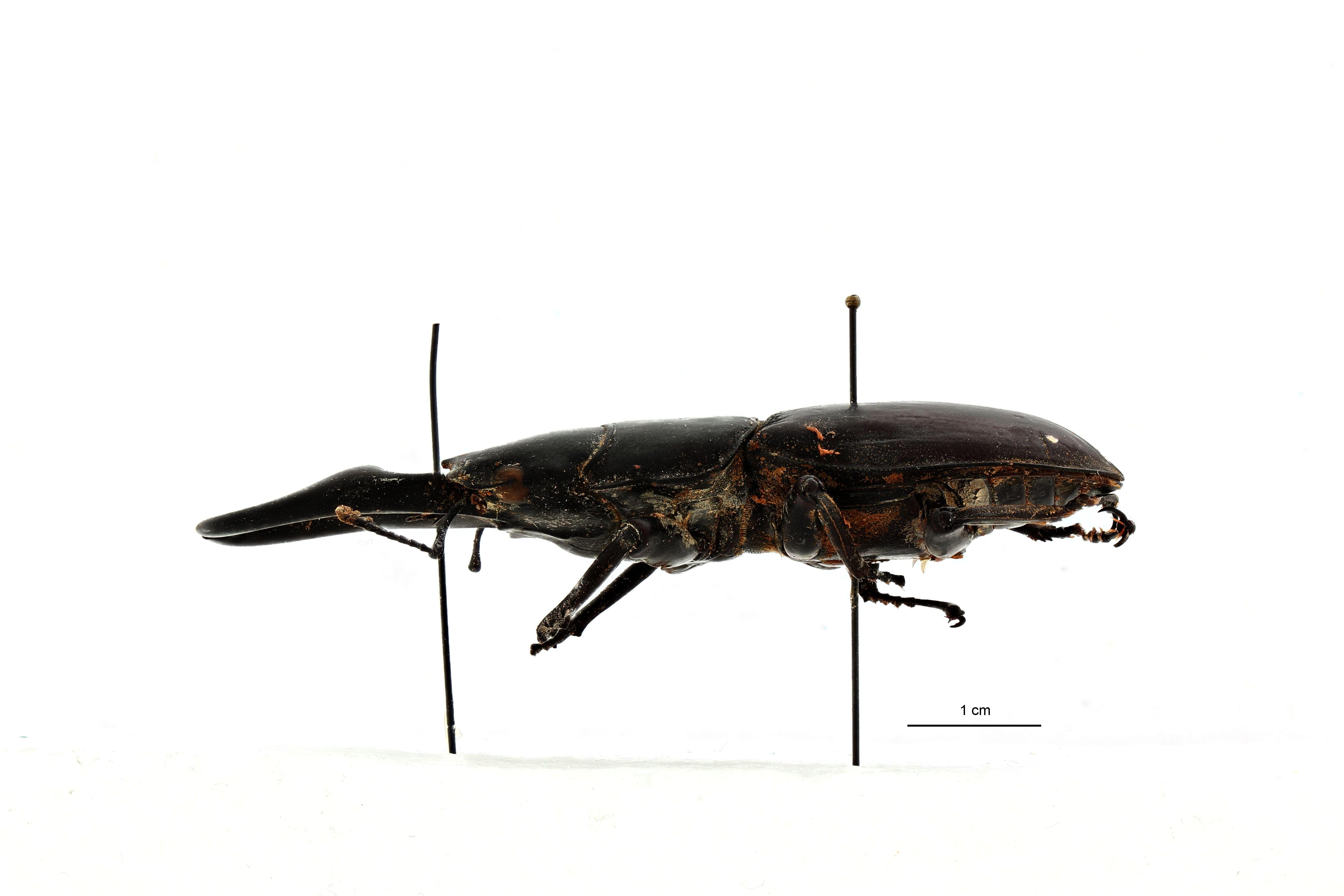 Dorcus astridae t L.jpg