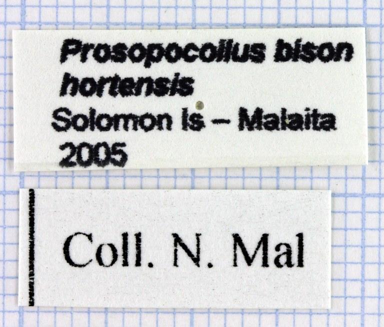 Prosopocoilus bison hortensis 30453.jpg
