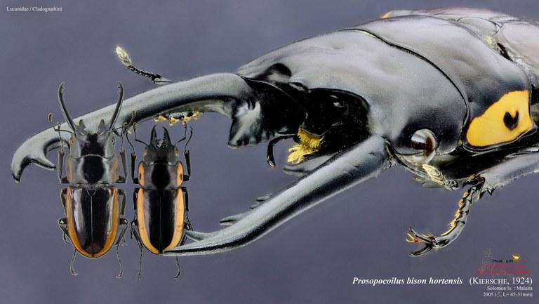 Prosopocoilus bison hortensis.jpg