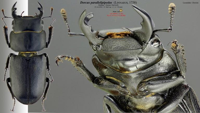 Dorcus parallelipipedus nm.jpg
