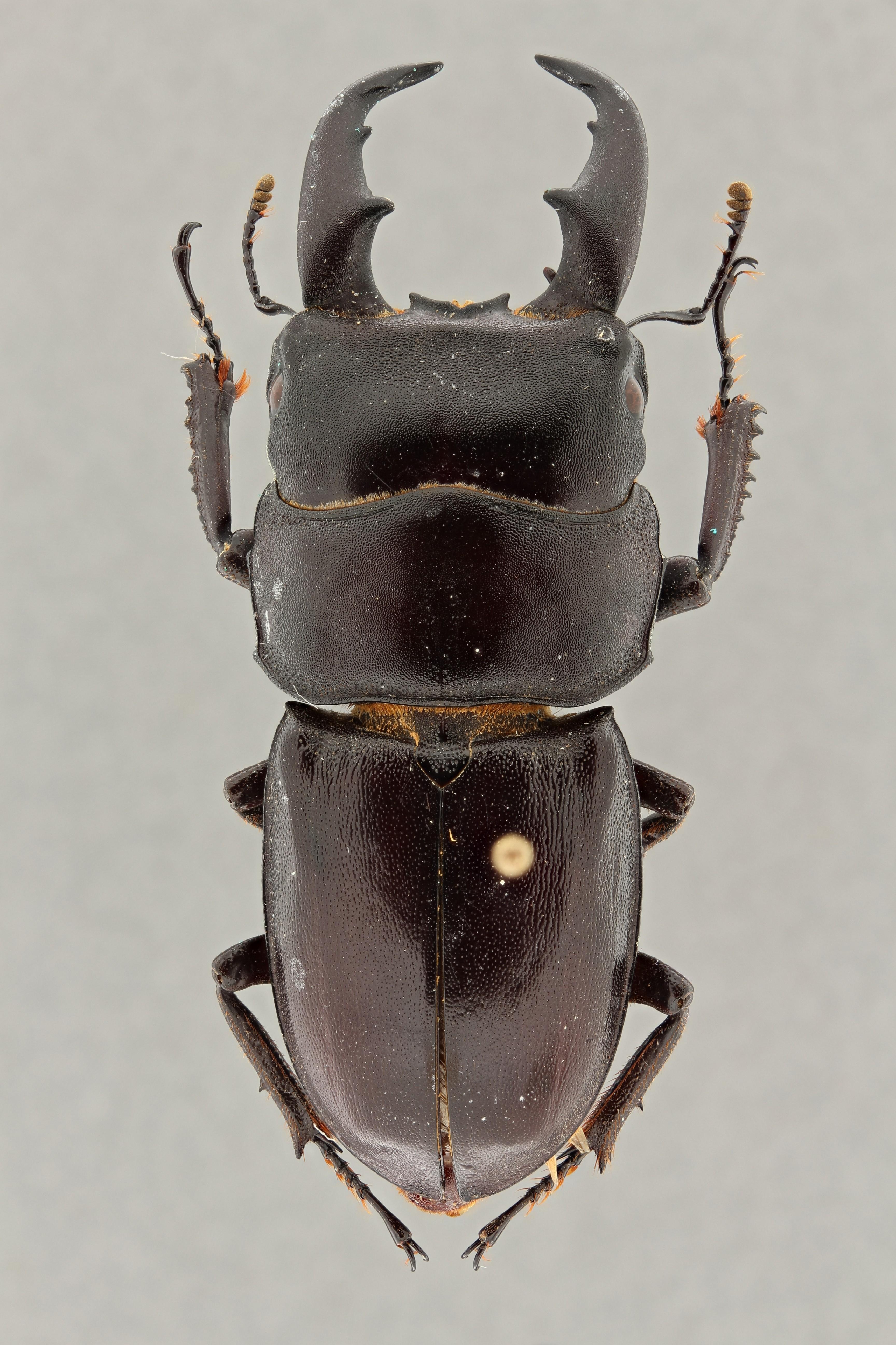 Eurytrachellelus coussementi pt D ZS PMax.jpg