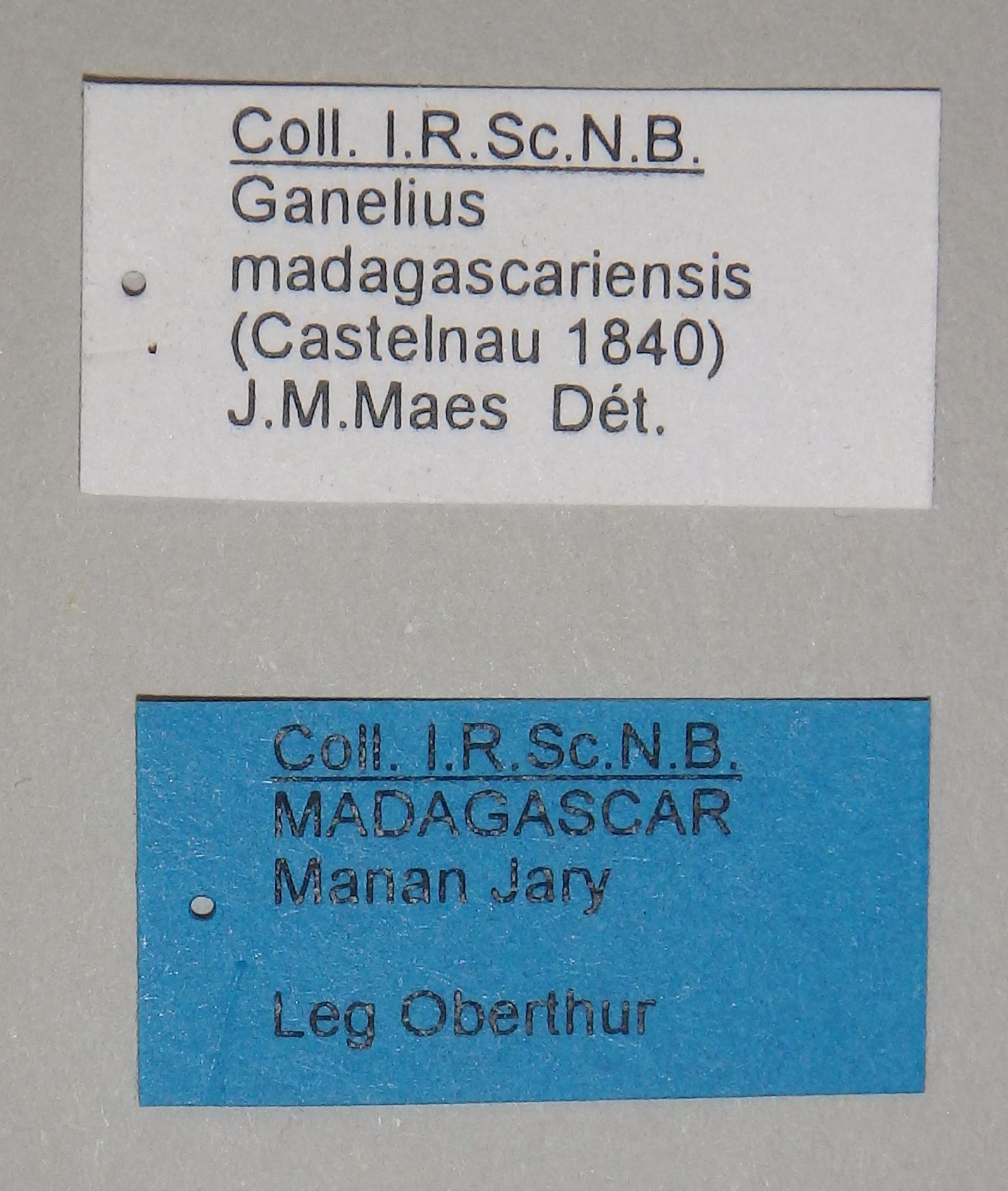 Ganelius madagascariensis 2 Lb.JPG
