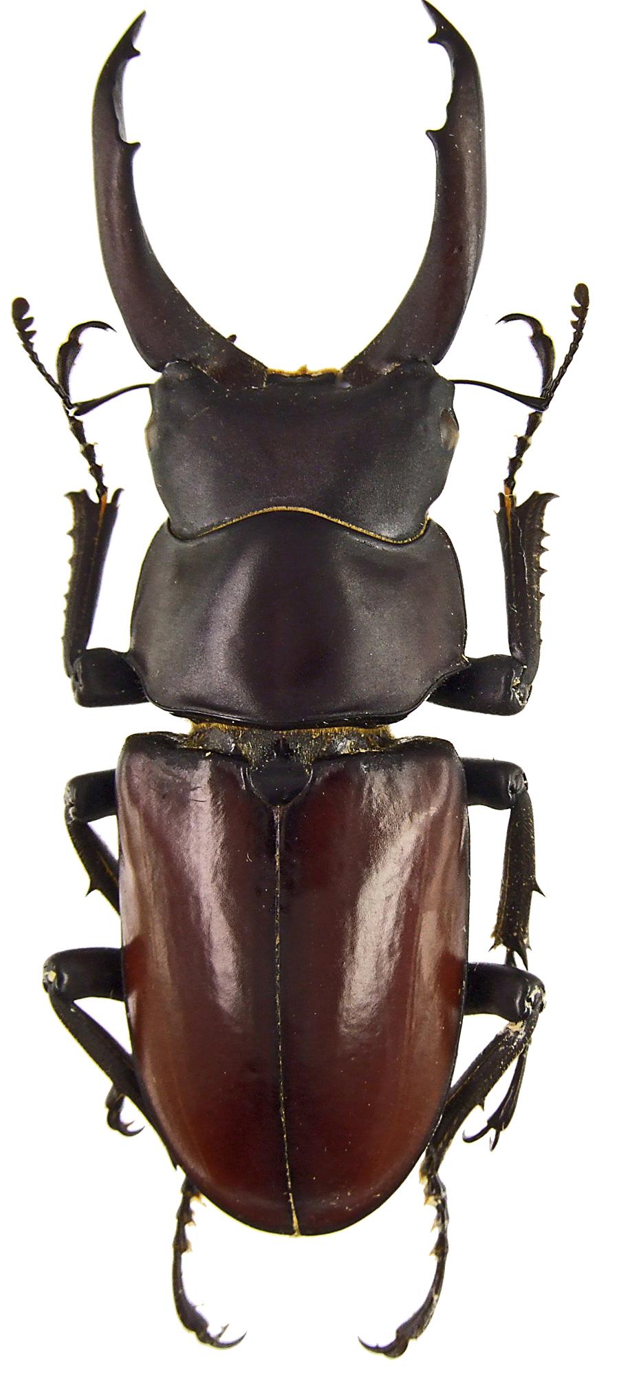 Hemisodorcus (Hemisodorcus) macleayi 43333.jpg