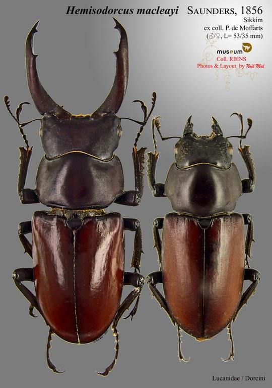 Hemisodorcus (Hemisodorcus) macleayi.jpg