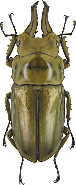 Allotopus rosenbergi 1310.jpg