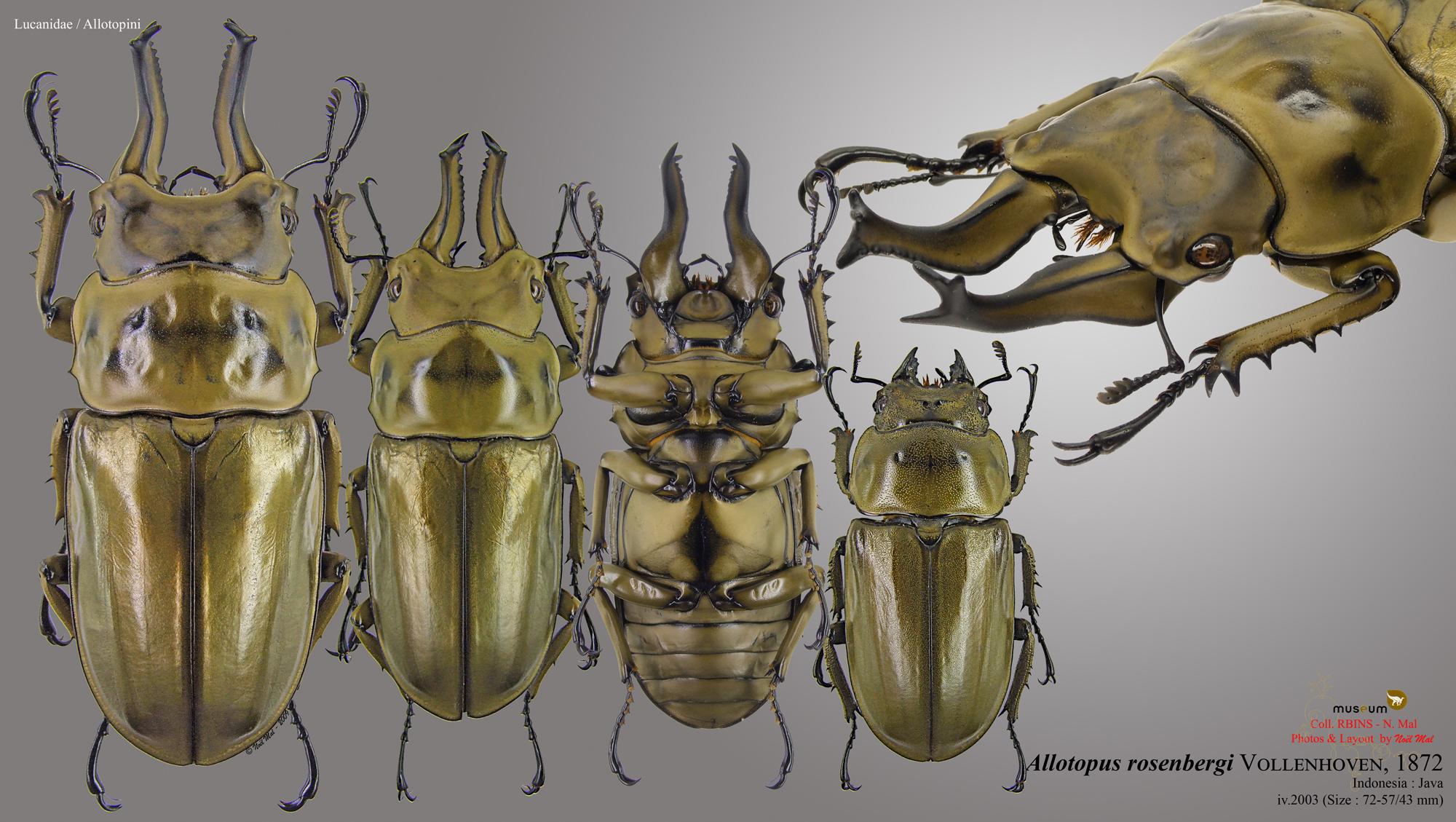 Allotopus rosenbergi..jpg