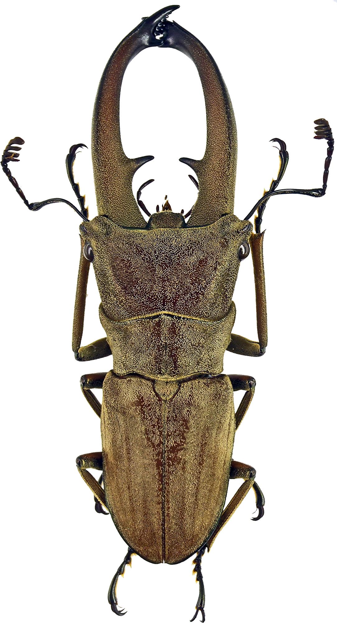 Cyclommatus canaliculatus canaliculatus 43200cz02.jpg