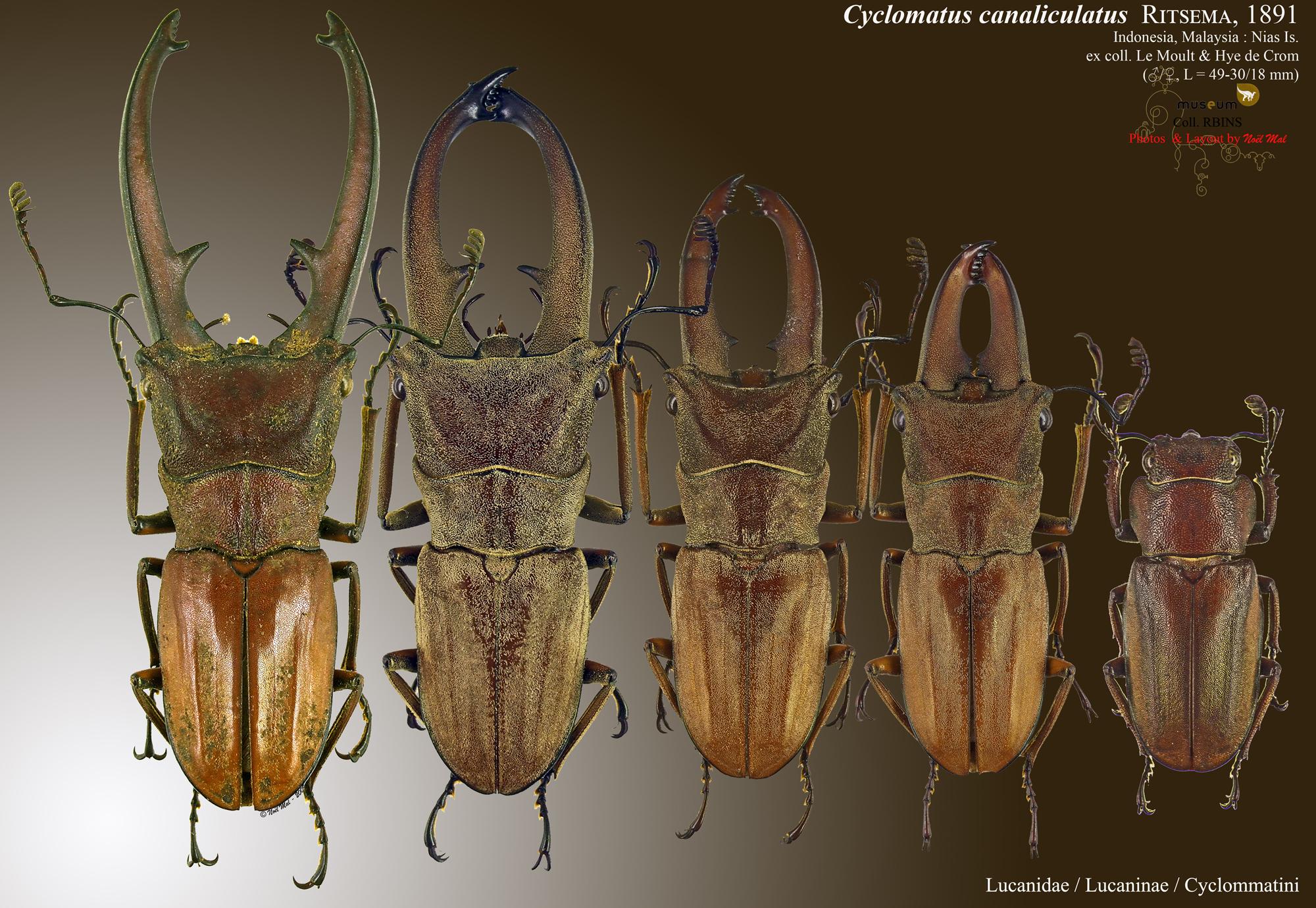 Cyclommatus canaliculatus canaliculatus.jpg