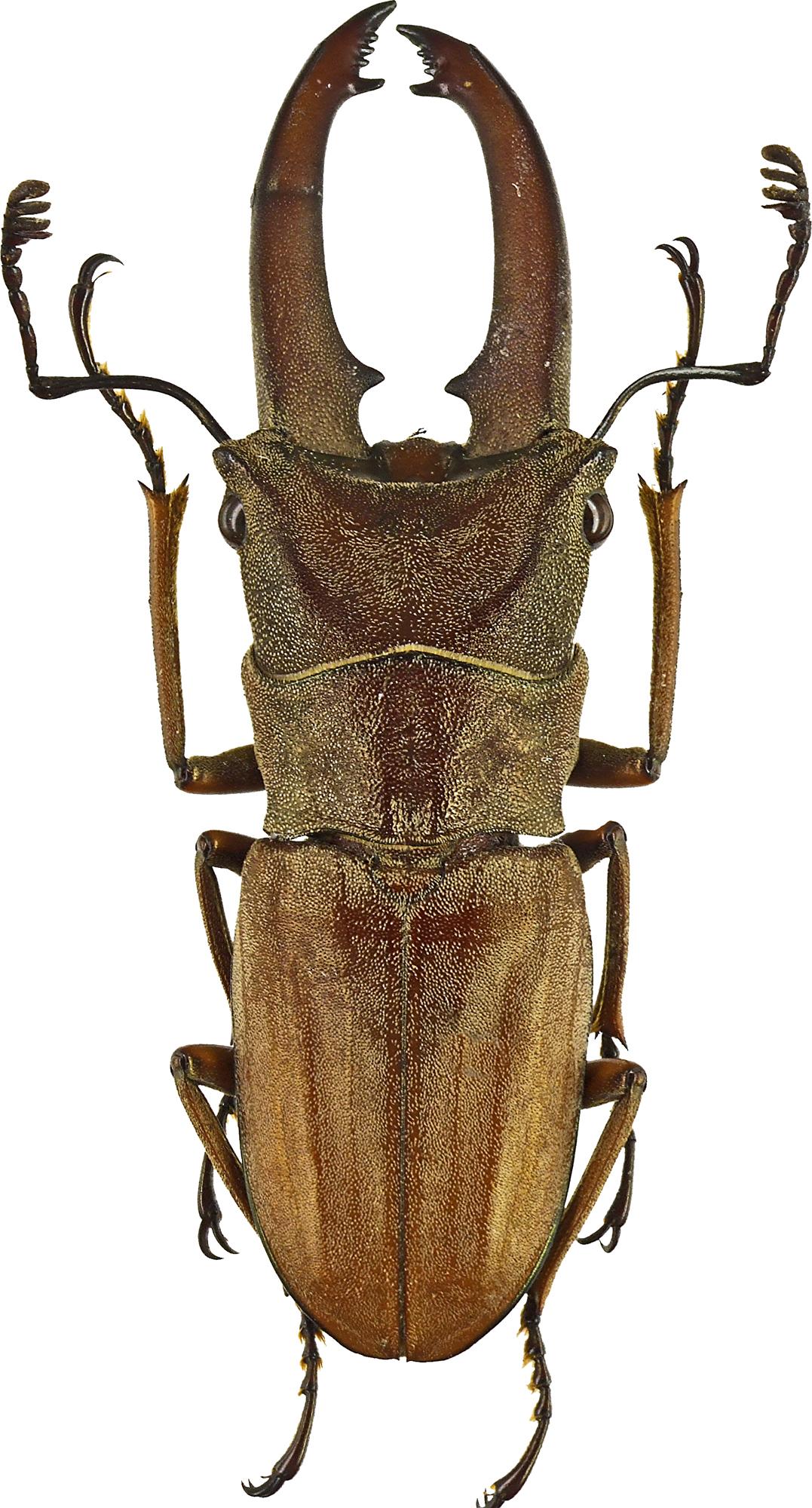 Cyclommatus canaliculatus canaliculatus 43203cz05.jpg