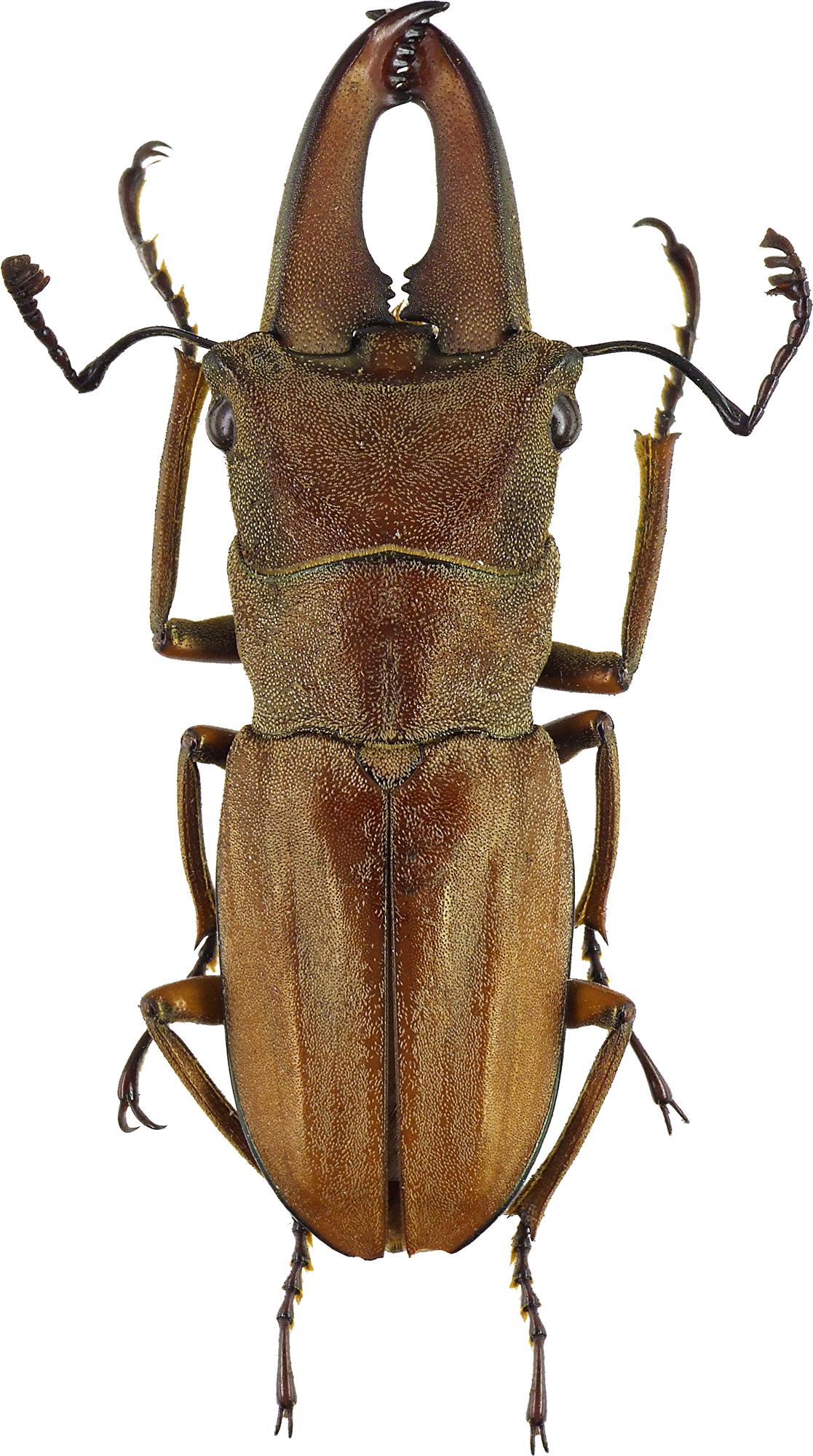 Cyclommatus canaliculatus canaliculatus 43206cz08.jpg