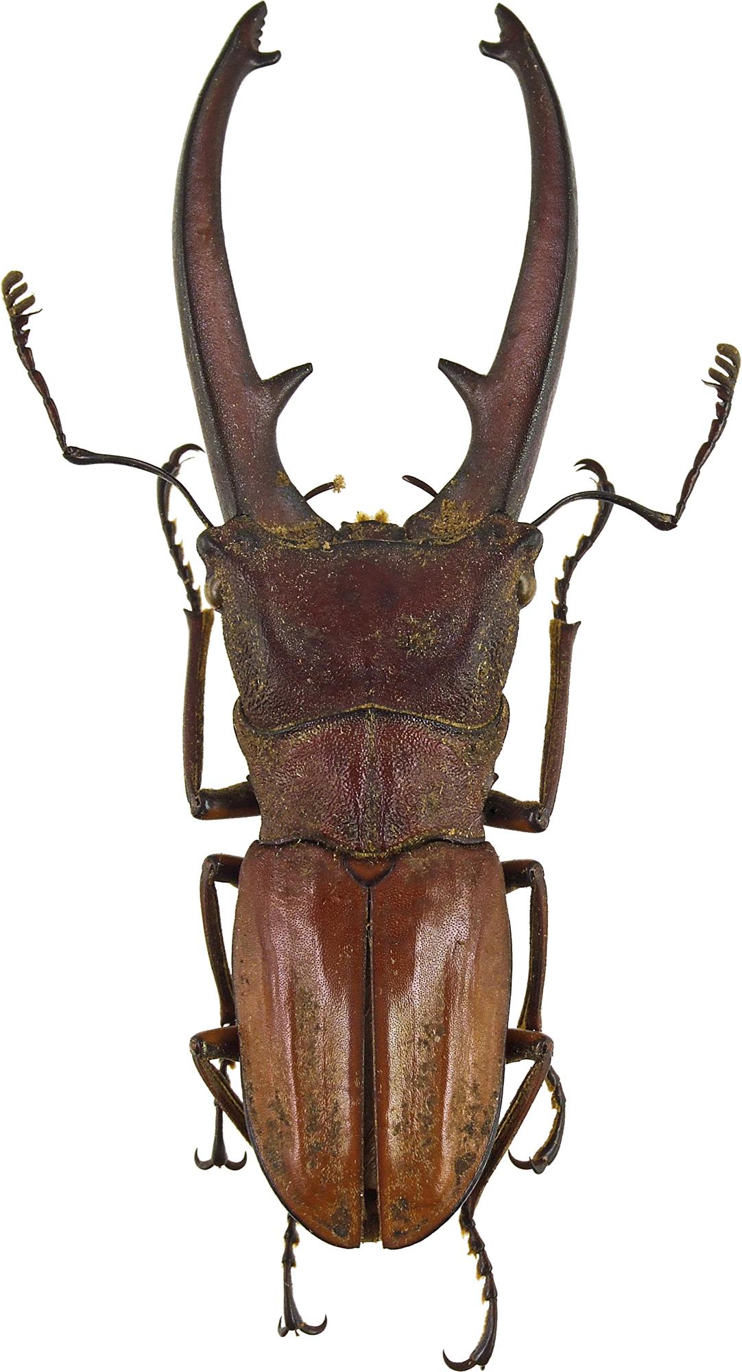 Cyclommatus canaliculatus canaliculatus 43197cz99.jpg