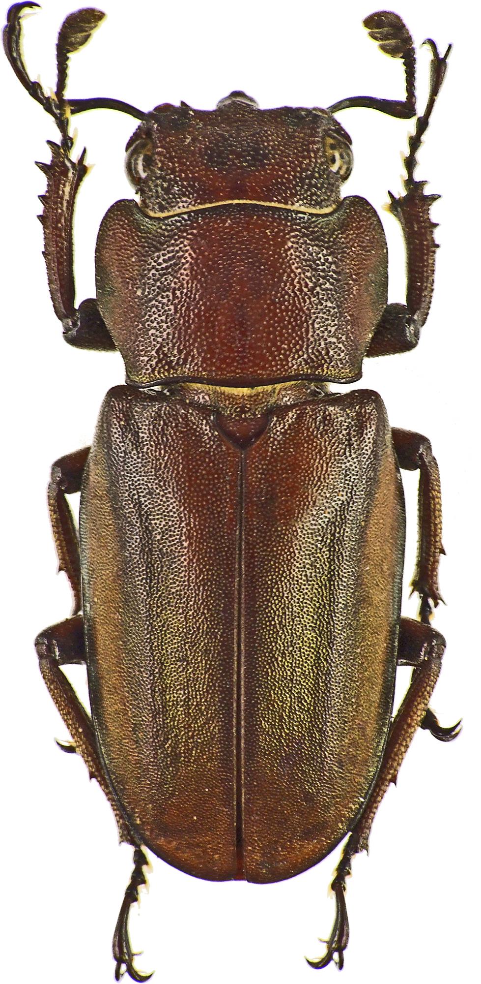 Cyclommatus canaliculatus canaliculatus 43209cz12.jpg