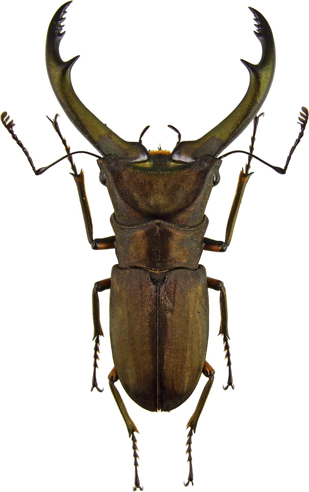 Cyclommatus elaphus elaphus 43590.jpg