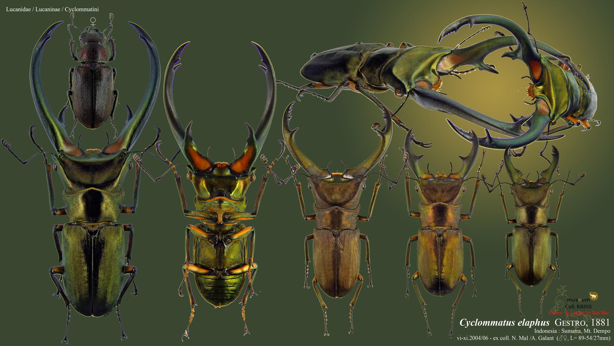 Cyclommatus elaphus elaphus.jpg