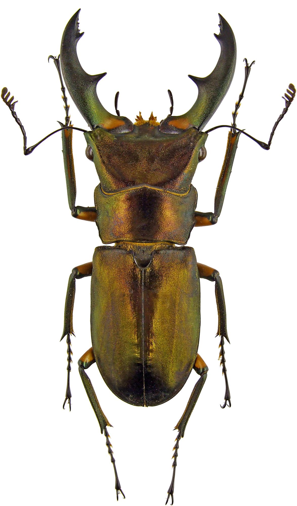 Cyclommatus elaphus elaphus 43591.jpg