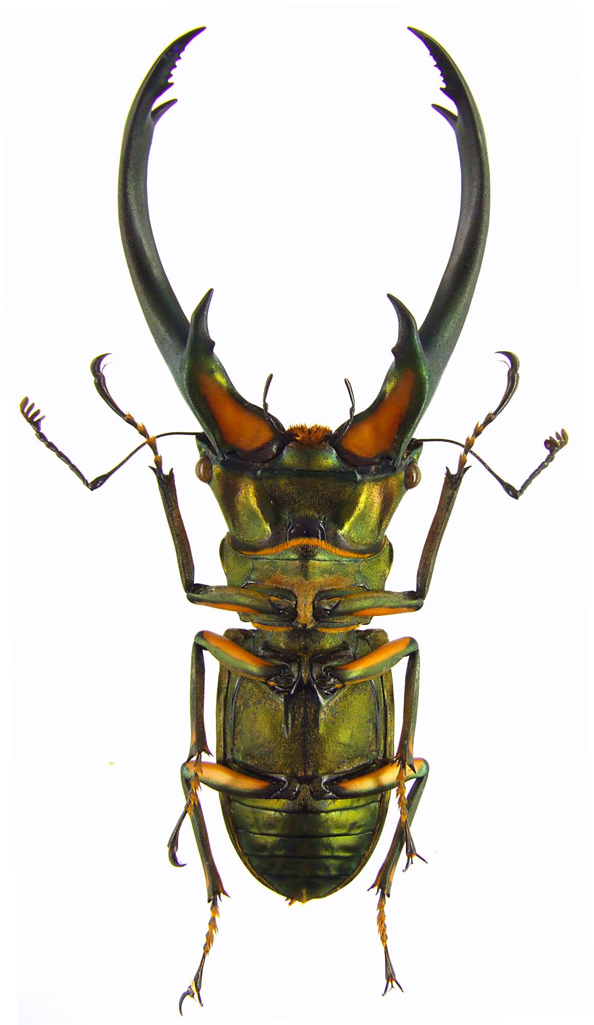 Cyclommatus elaphus elaphus 43596.jpg