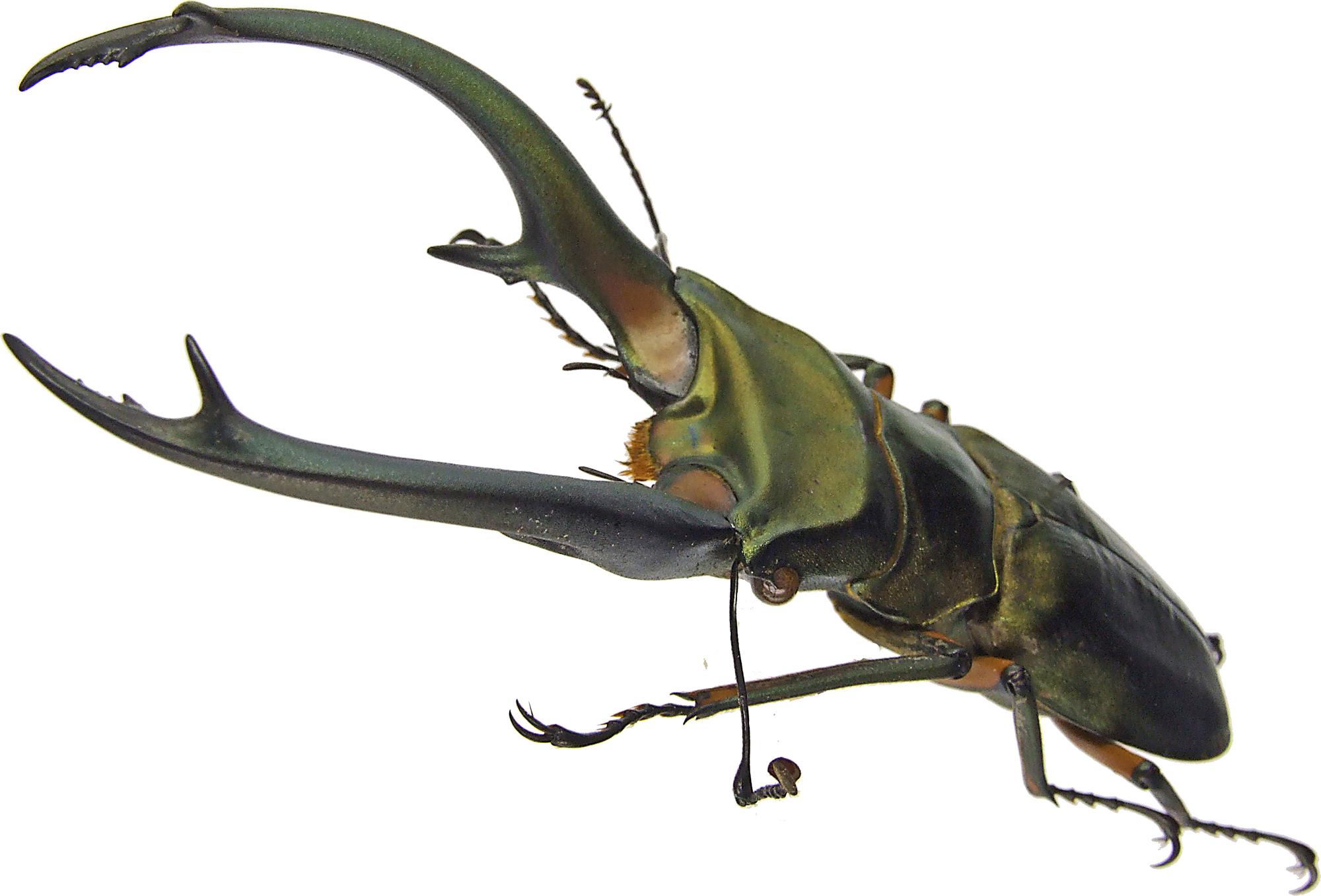 Cyclommatus elaphus elaphus 43597.jpg