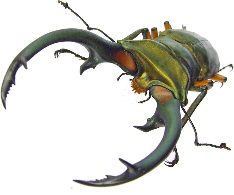 Cyclommatus elaphus elaphus 43598.jpg
