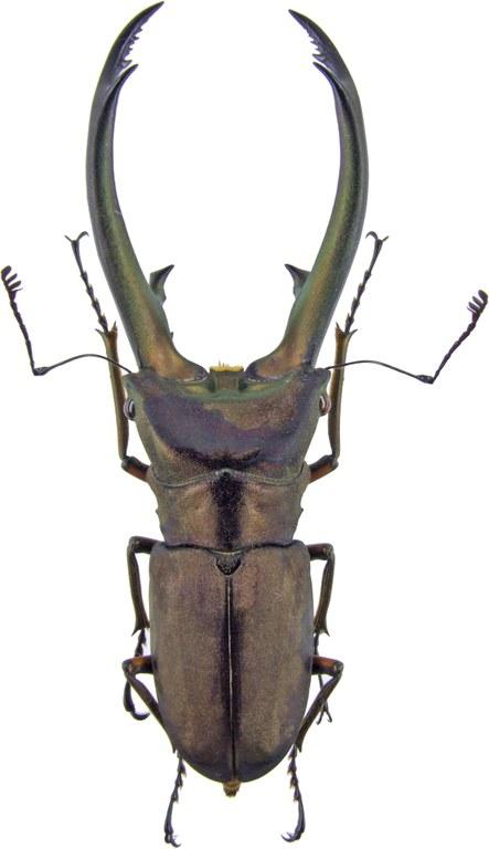 Cyclommatus elaphus elaphus 4231.jpg