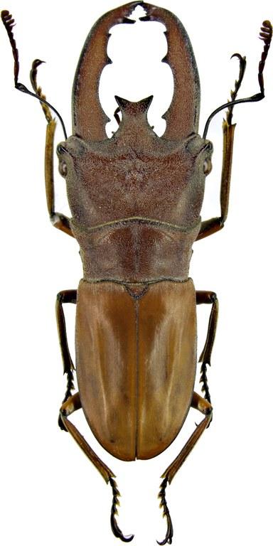 Cyclommatus lunifer 1222.jpg