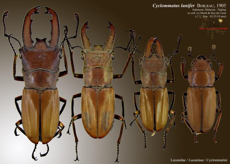 Cyclommatus lunifer.jpg