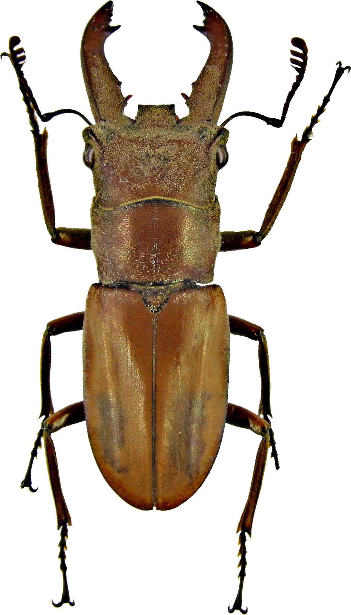 Cyclommatus lunifer 1224.jpg