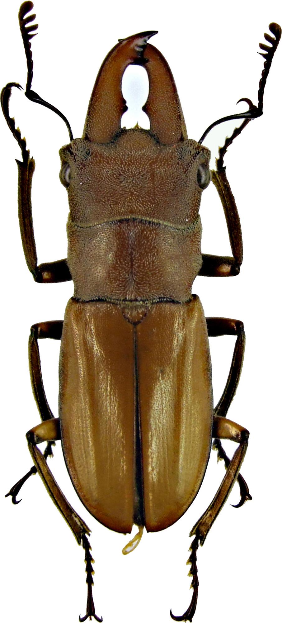 Cyclommatus lunifer 1225.jpg