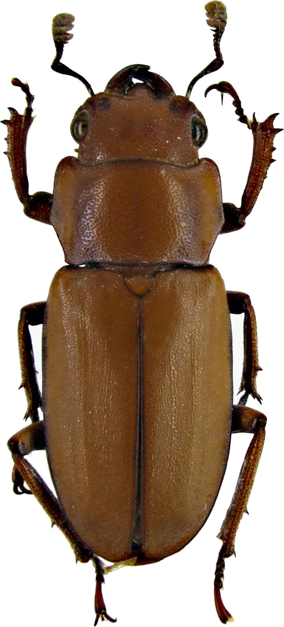 Cyclommatus lunifer 1226.jpg