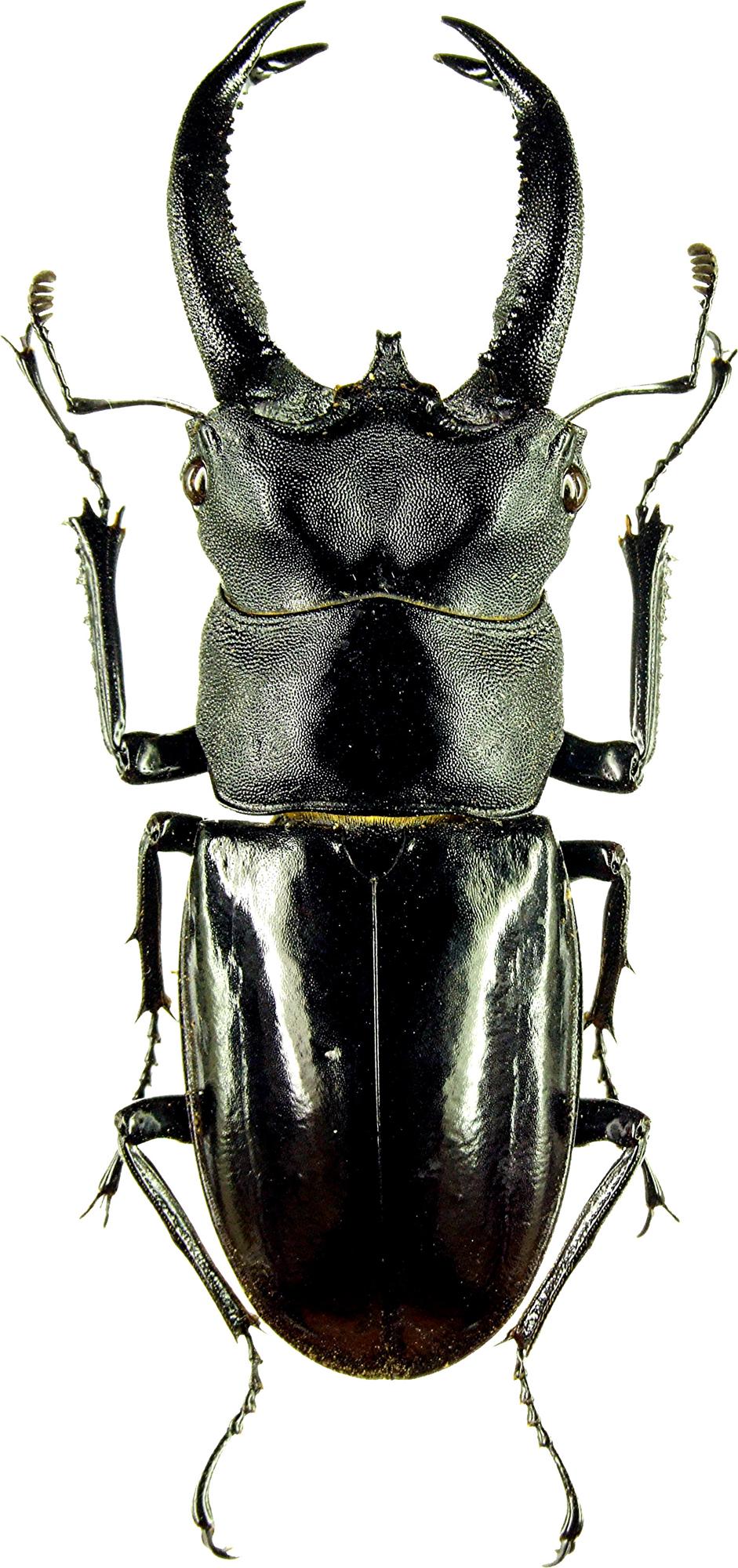 Hexarthrius buquettii 0045.jpg