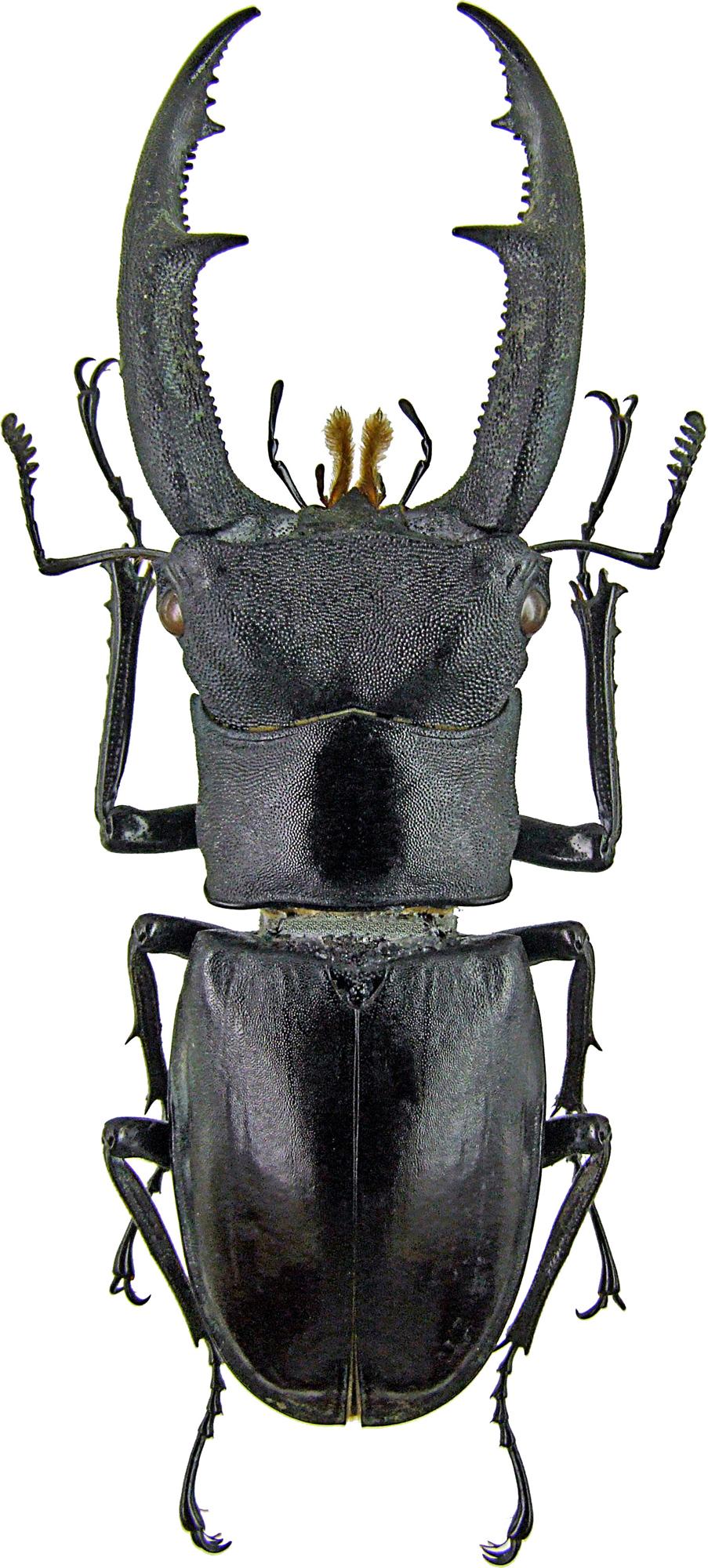 Hexarthrius mandibularis 1304.jpg