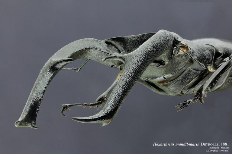 Hexarthrius mandibularis 29496zs19.jpg
