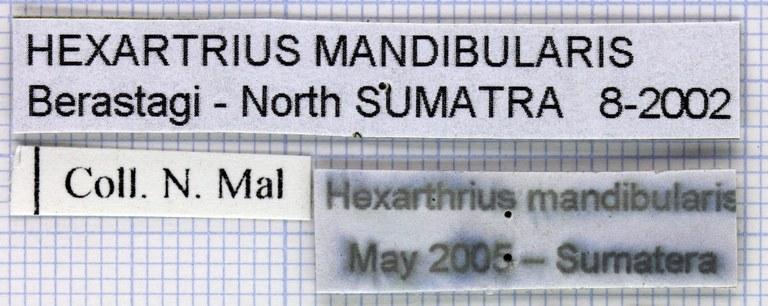 Hexarthrius mandibularis lab 29495.jpg