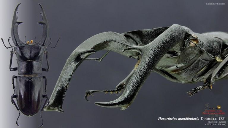 Hexarthrius mandibularis.jpg