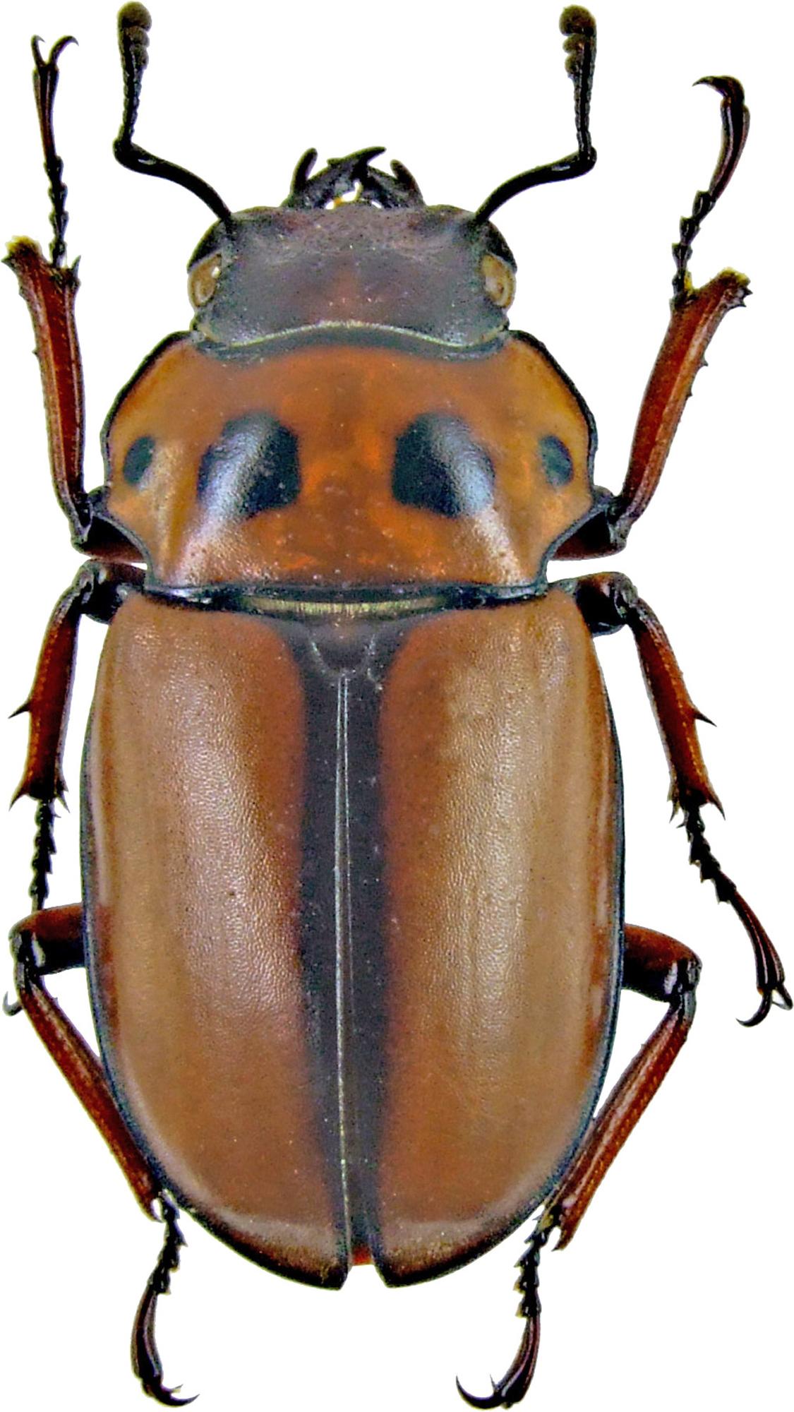 Homoderus mellyi mellyi 1239.jpg