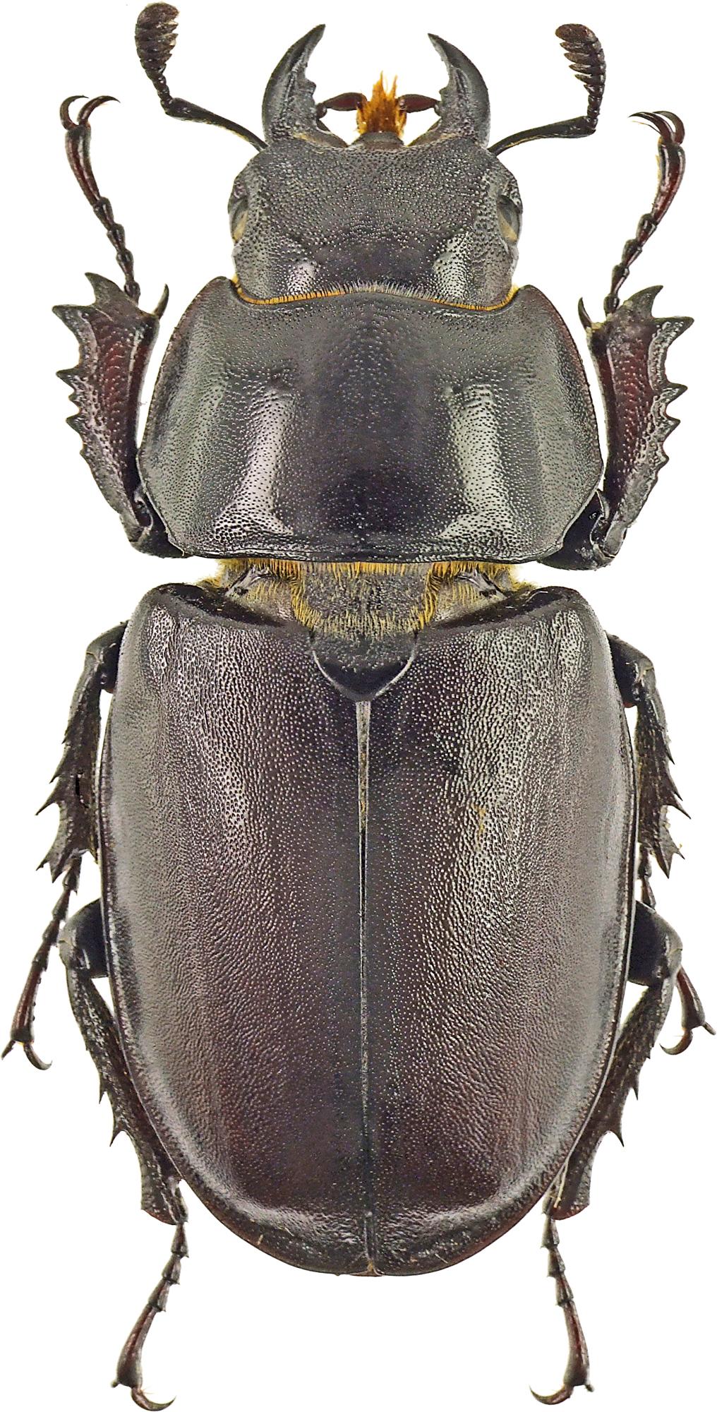 Lucanus (Lucanus) cervus turcicus 42639cz43.jpg