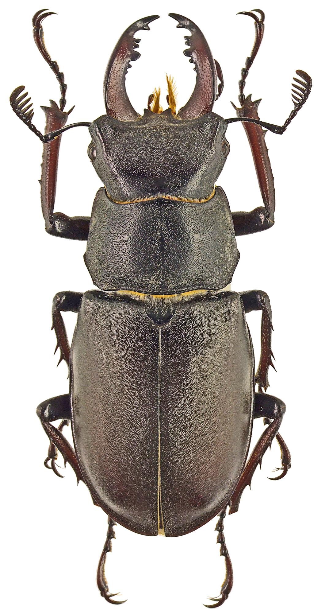 Lucanus (Lucanus) cervus turcicus 42635cz38.jpg