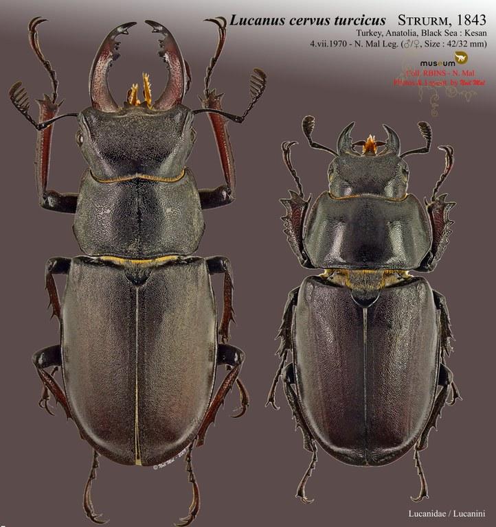 Lucanus (Lucanus) cervus turcicus.jpg