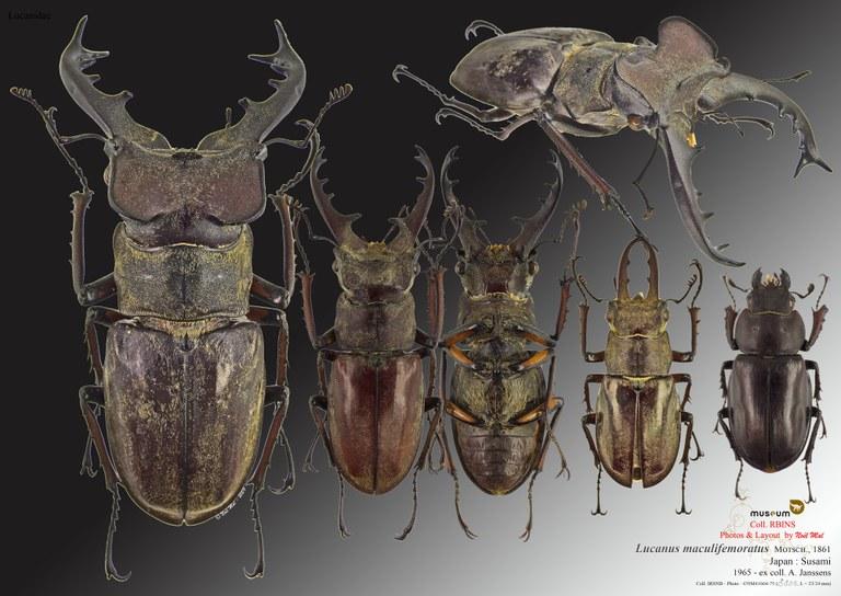 Lucanus maculifemoratus maculifemoratus.jpg