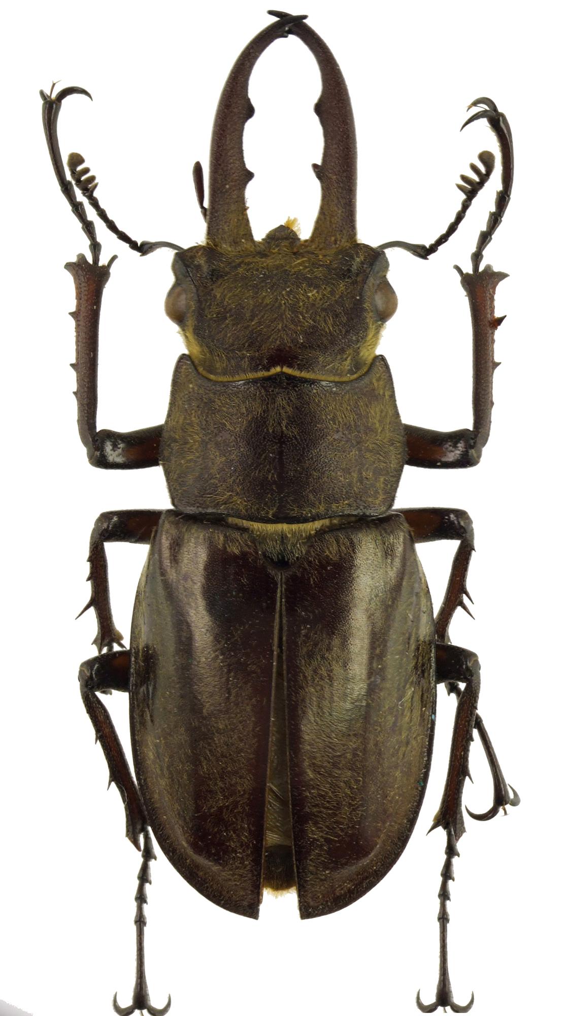 Lucanus maculifemoratus maculifemoratus 41666cz69.jpg
