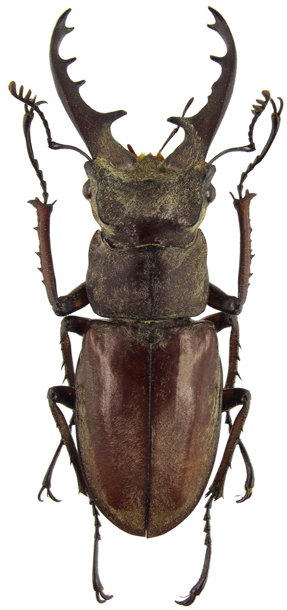 Lucanus maculifemoratus maculifemoratus 41672cz74.jpg