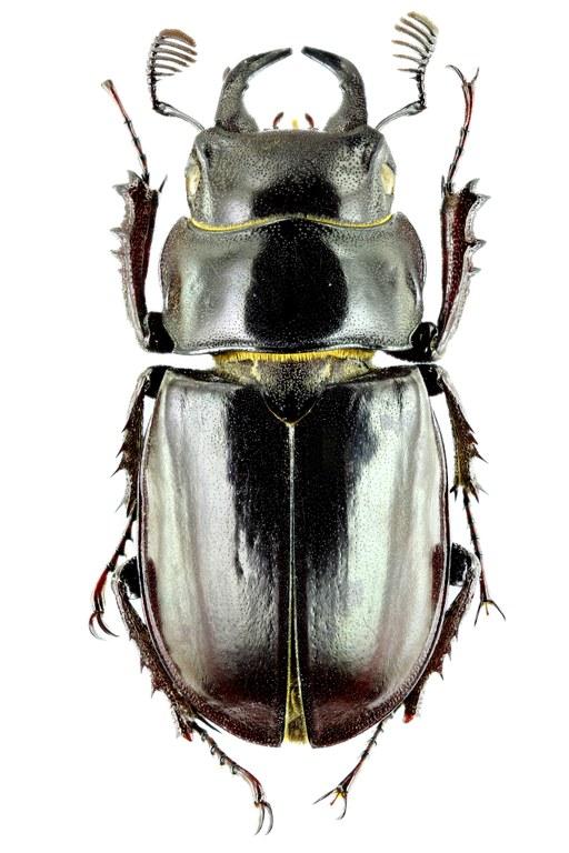 Lucanus (Pseudolucanus) barbarossa 34397zs09.jpg