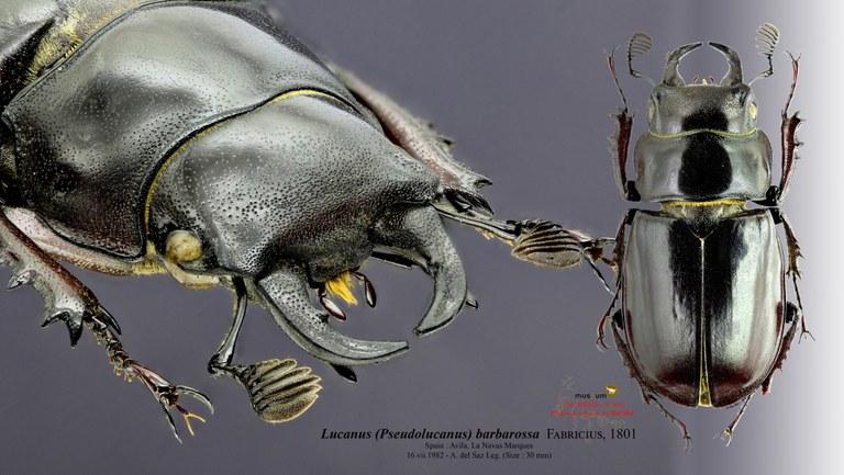 Lucanus (Pseudolucanus) barbarossa.jpg