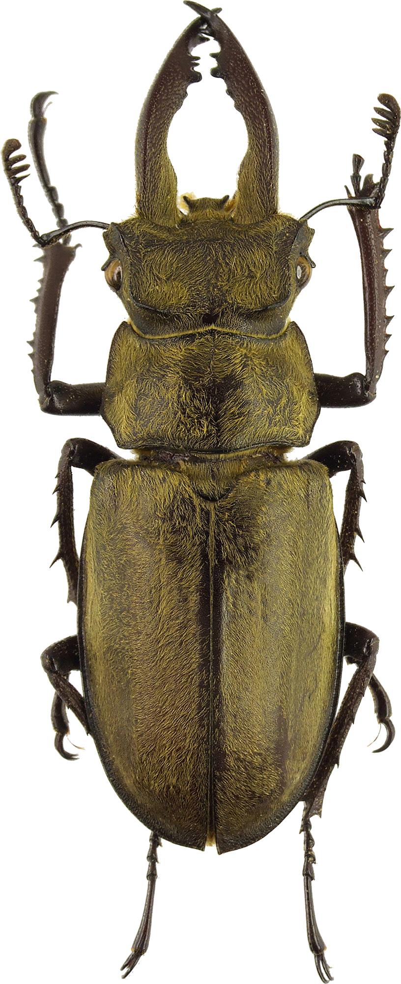 Lucanus pseudosingularis 41729cz31.jpg